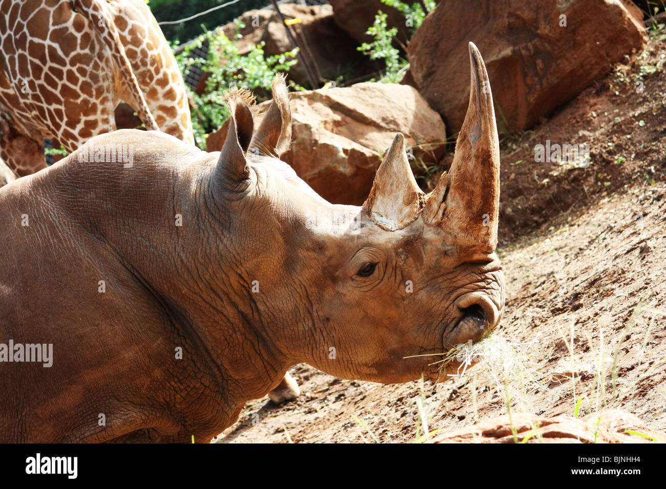 CLOSE UP SIDE VIEW  OF WHITE RHINOCEROS HORIZONTAL BDB Stock Photo