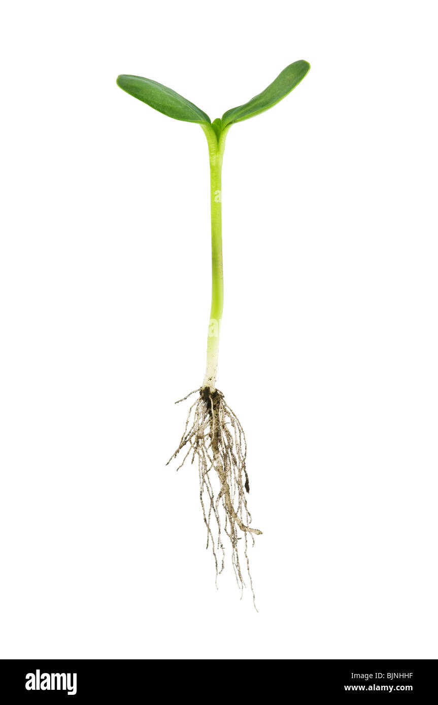 single plant with root isolated on white - Stock Image