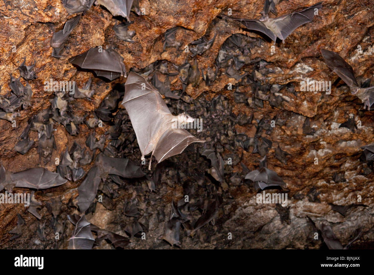 A colony of the Egyptian fruit bats (Rousettus aegyptiacus) in cave. Stock Photo