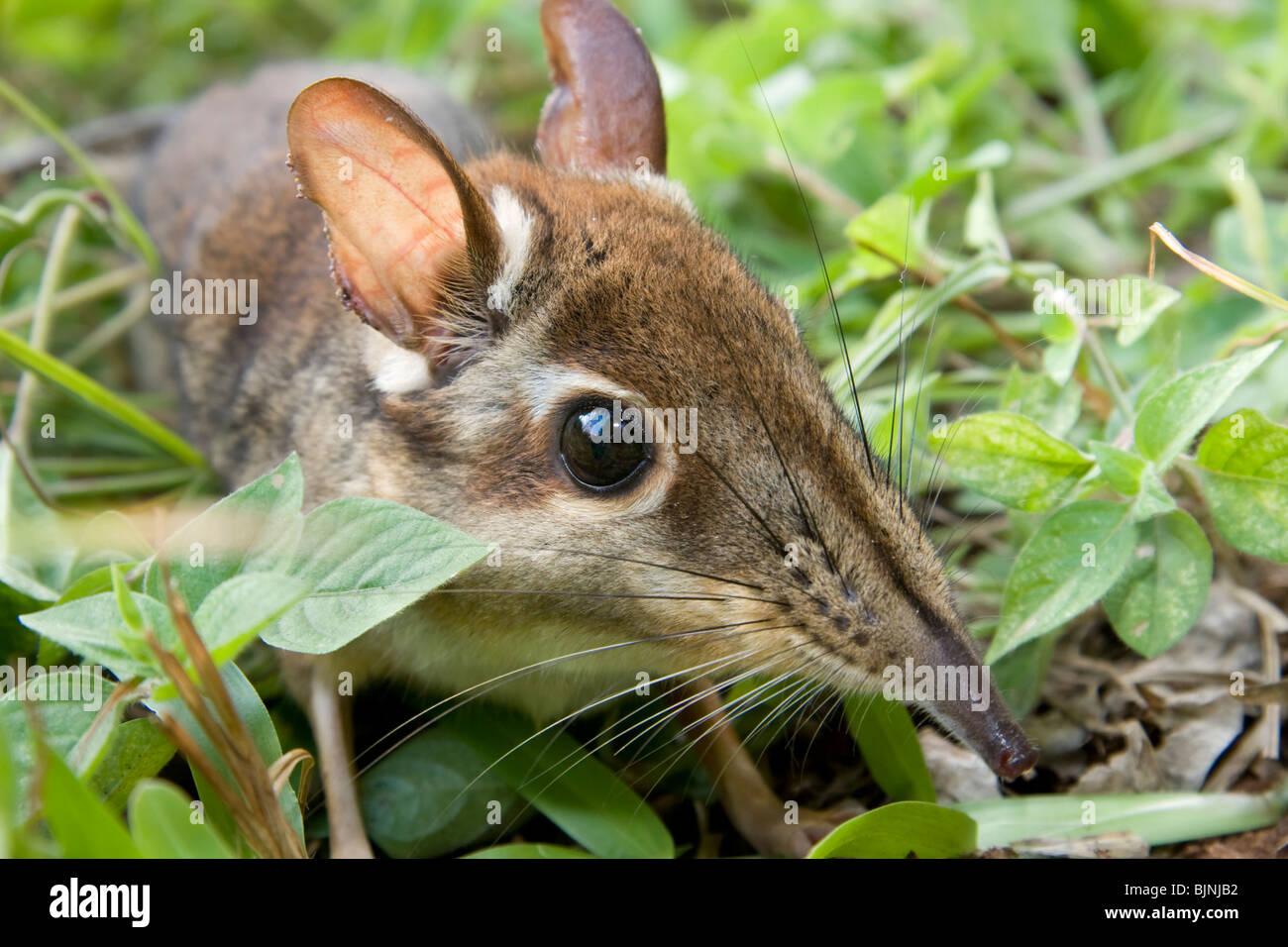 Four-toed Elephant Shrew or Four-toed Sengi (Petrodromus tetradactylus) Arabuko-Sokoke Forest, Kenya. - Stock Image