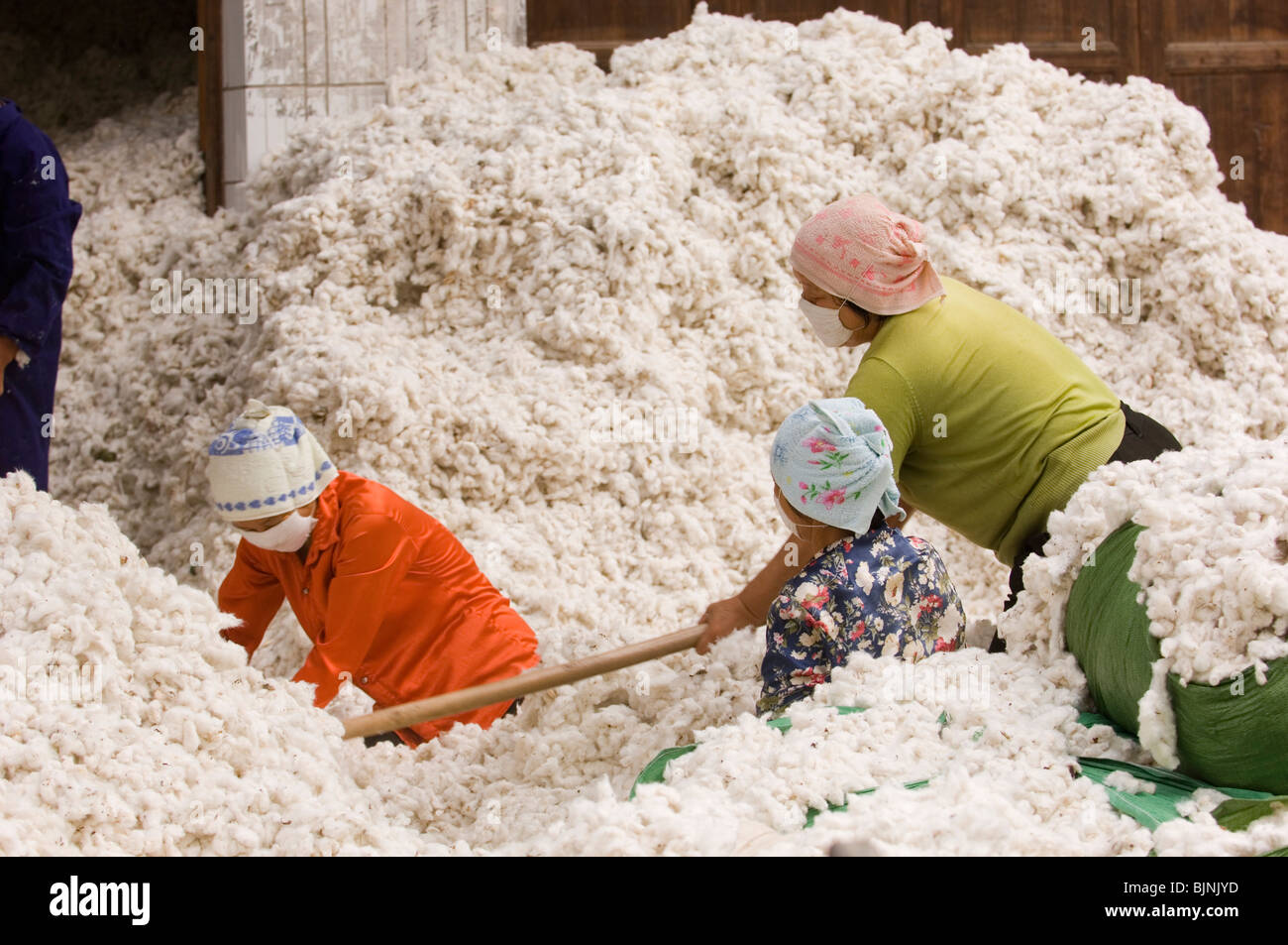 Female workers gathering cotton bolls in Hubei province. China. - Stock Image