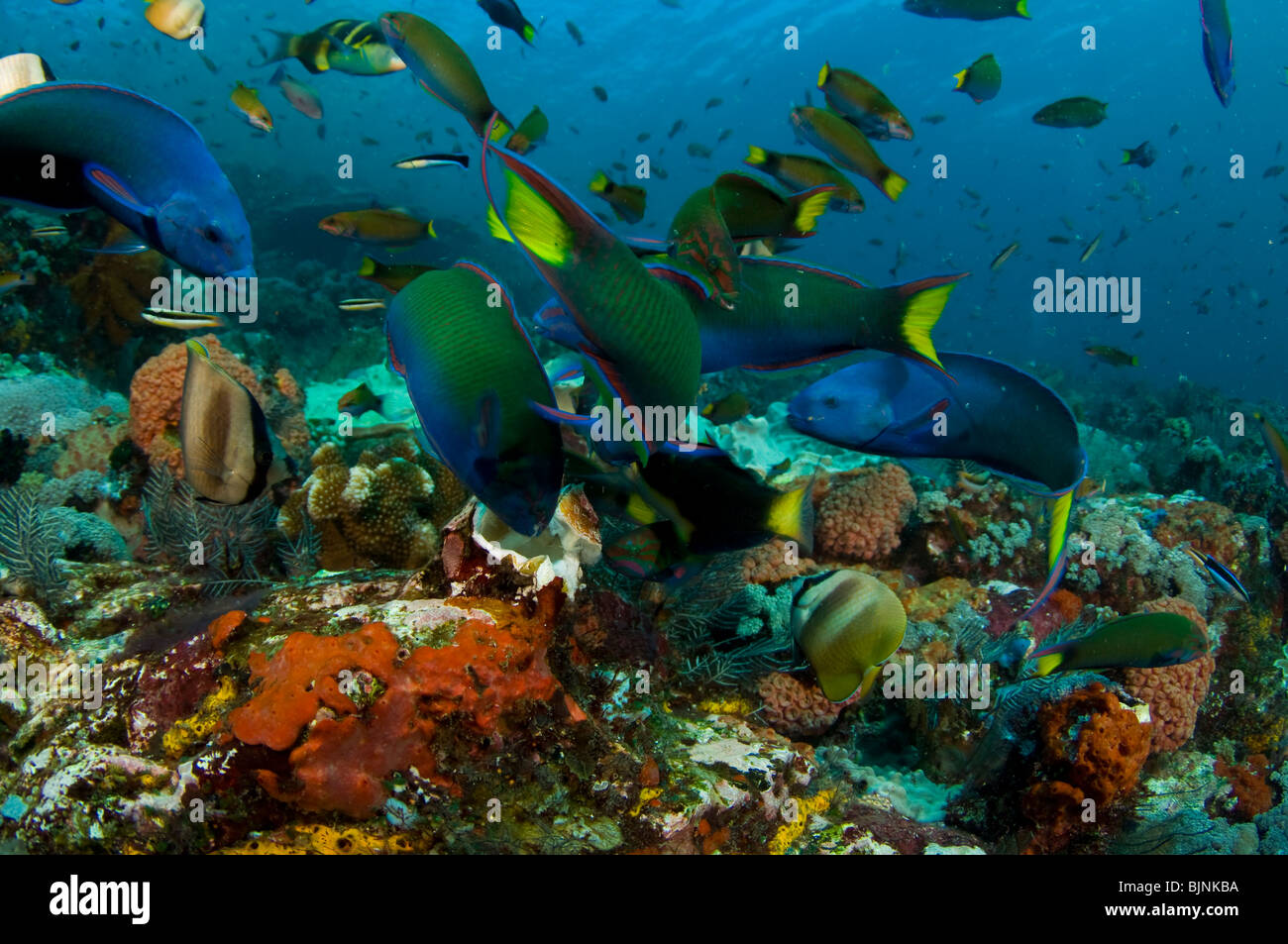Tropical Fish on Coral Reef, Current City, Komodo National Park, Indonesia - Stock Image