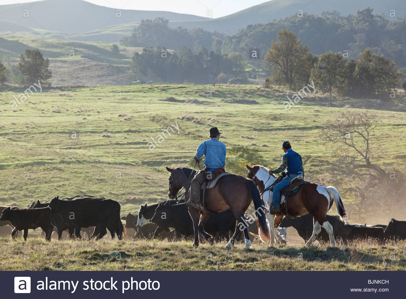 Cowboy during roundup of cattle on ranch on the island of Maui in the State of Hawaii USA Stock Photo