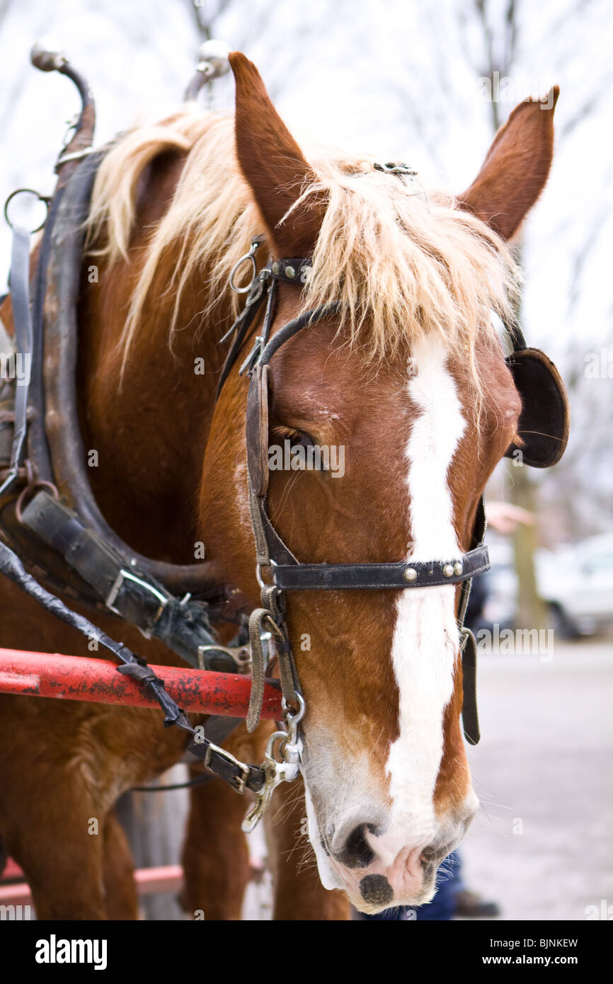 Reined sorrel horse waiting to pull the carriage full of tourists into a maple forest - Stock Image