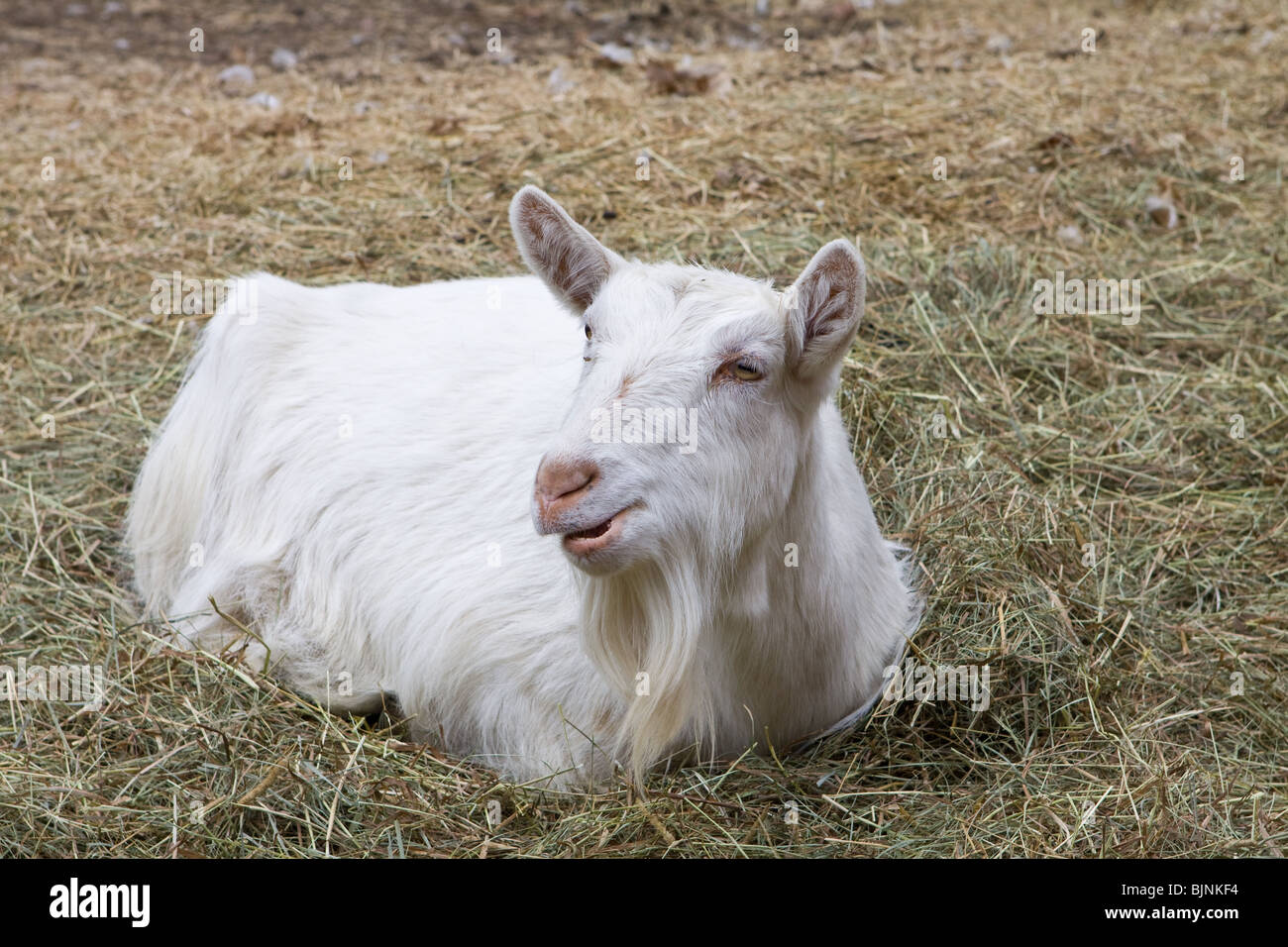 Goat laying down in its enclosure, ruminating behind the stable, surrounded by a maple forest. - Stock Image