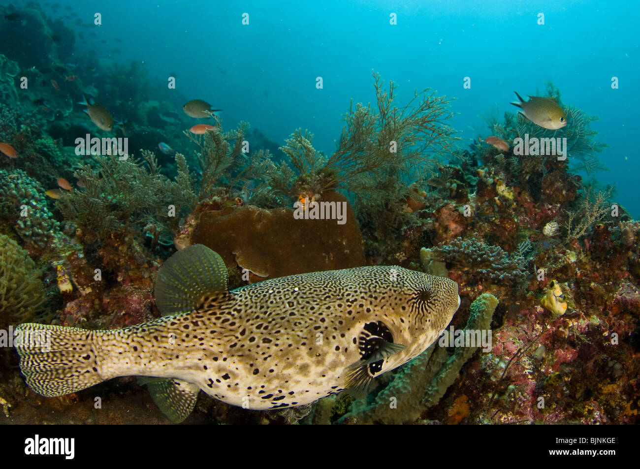 Blue-spotted puffer on Coral Reef, Komodo National Park, Indonesia Stock Photo