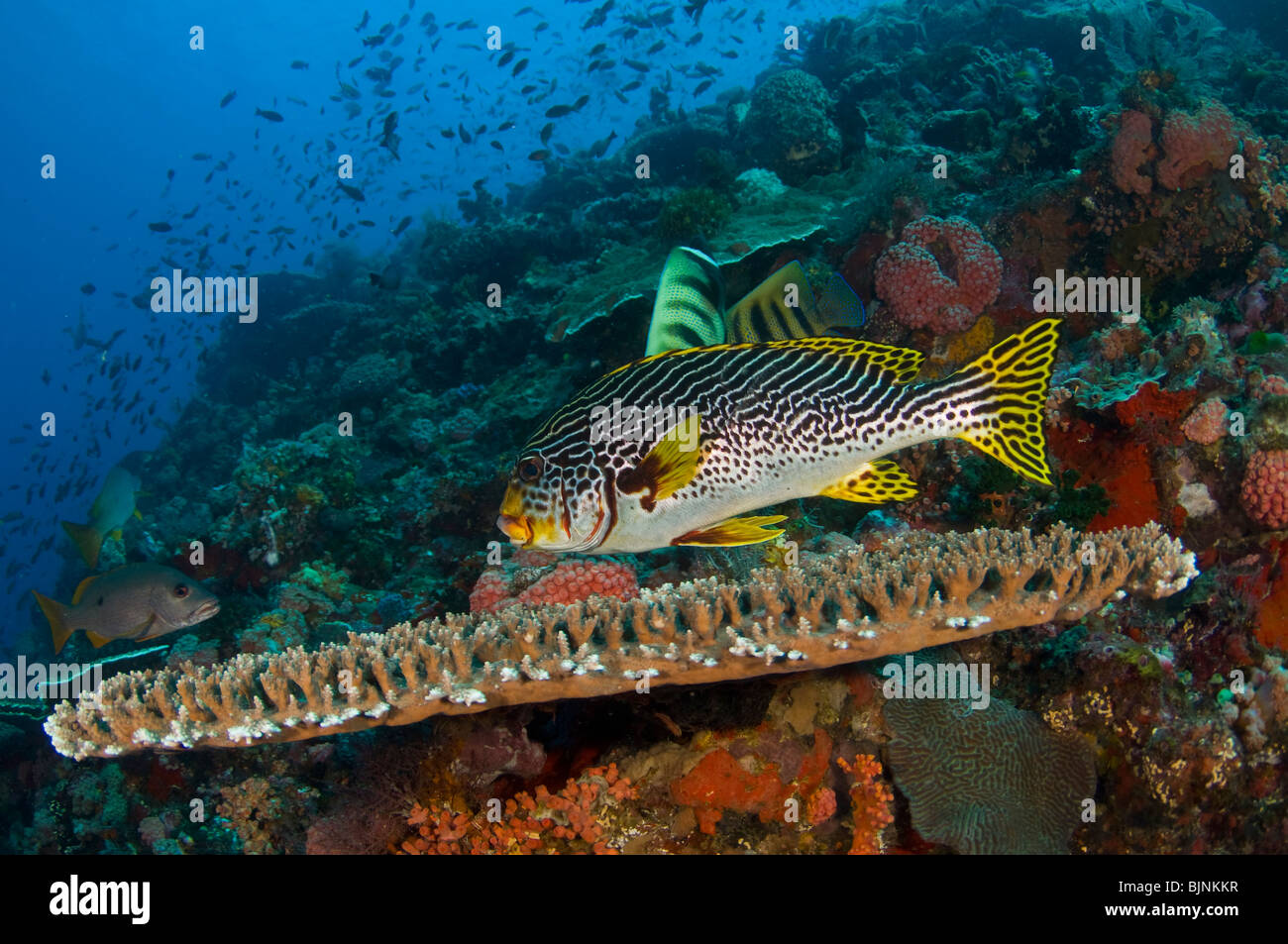 Diagonal-banded sweetlips, Plectorhinchus lineatus, on coral reef Current City, Komodo National Park, Indonesia - Stock Image