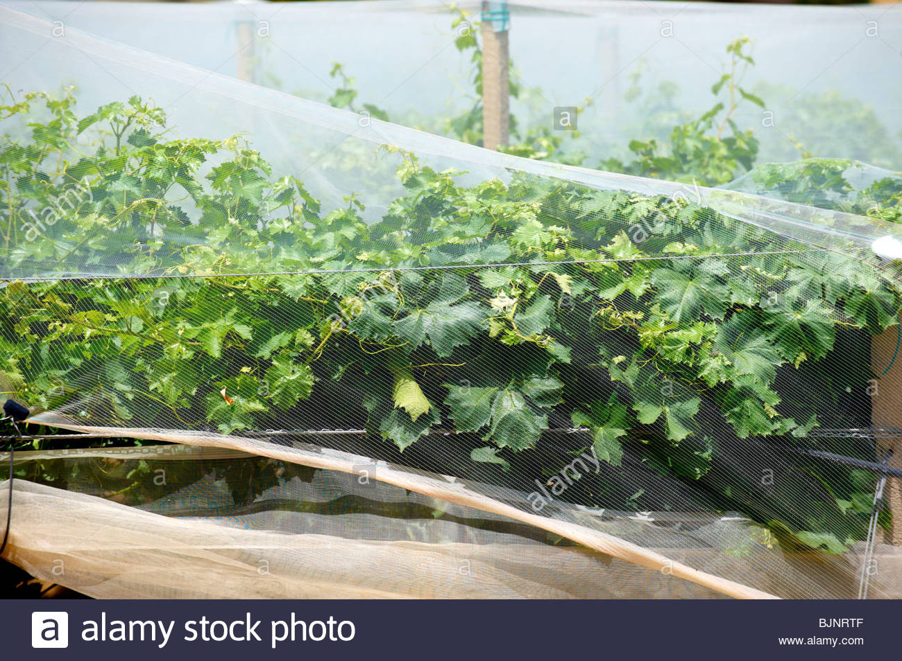 Vines covered in protective netting, Sicily - Stock Image