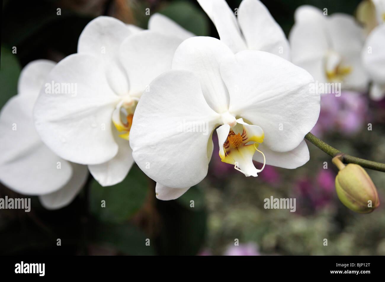 Moth Orchid, Phalaenopsis, Orchidaceae - Stock Image