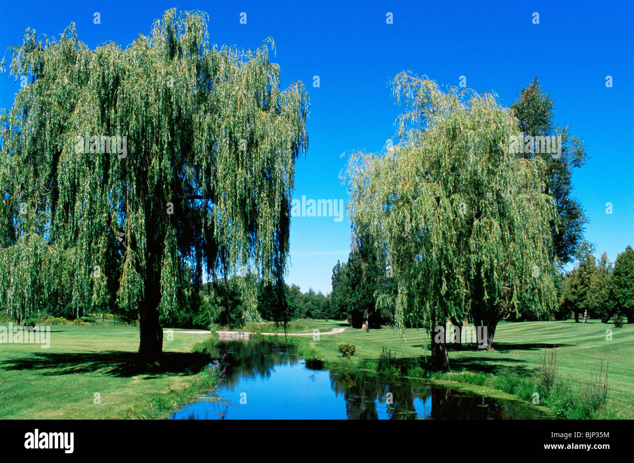 Weeping willow trees on a golf course - Stock Image