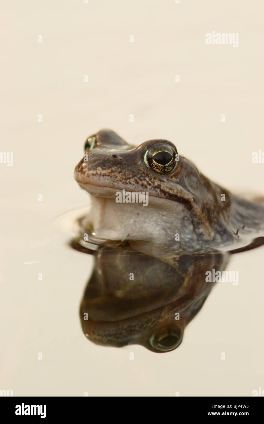 Common frog Rana temporaria with reflection - Stock Image