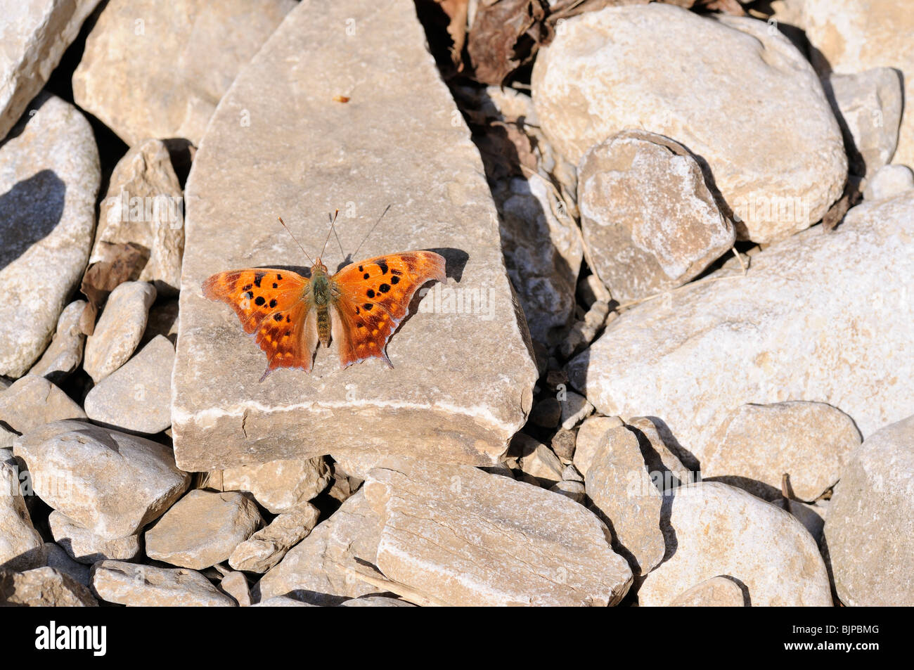 A Question Mark , a type of Brush-footed butterfly on limestone. - Stock Image