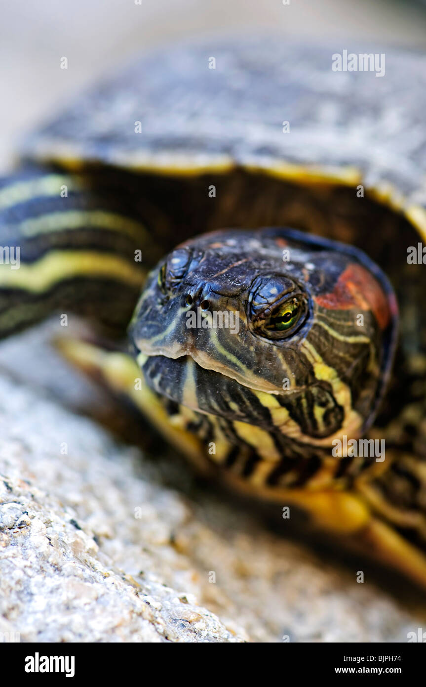 Close up of red eared slider turtle sitting on rock - Stock Image