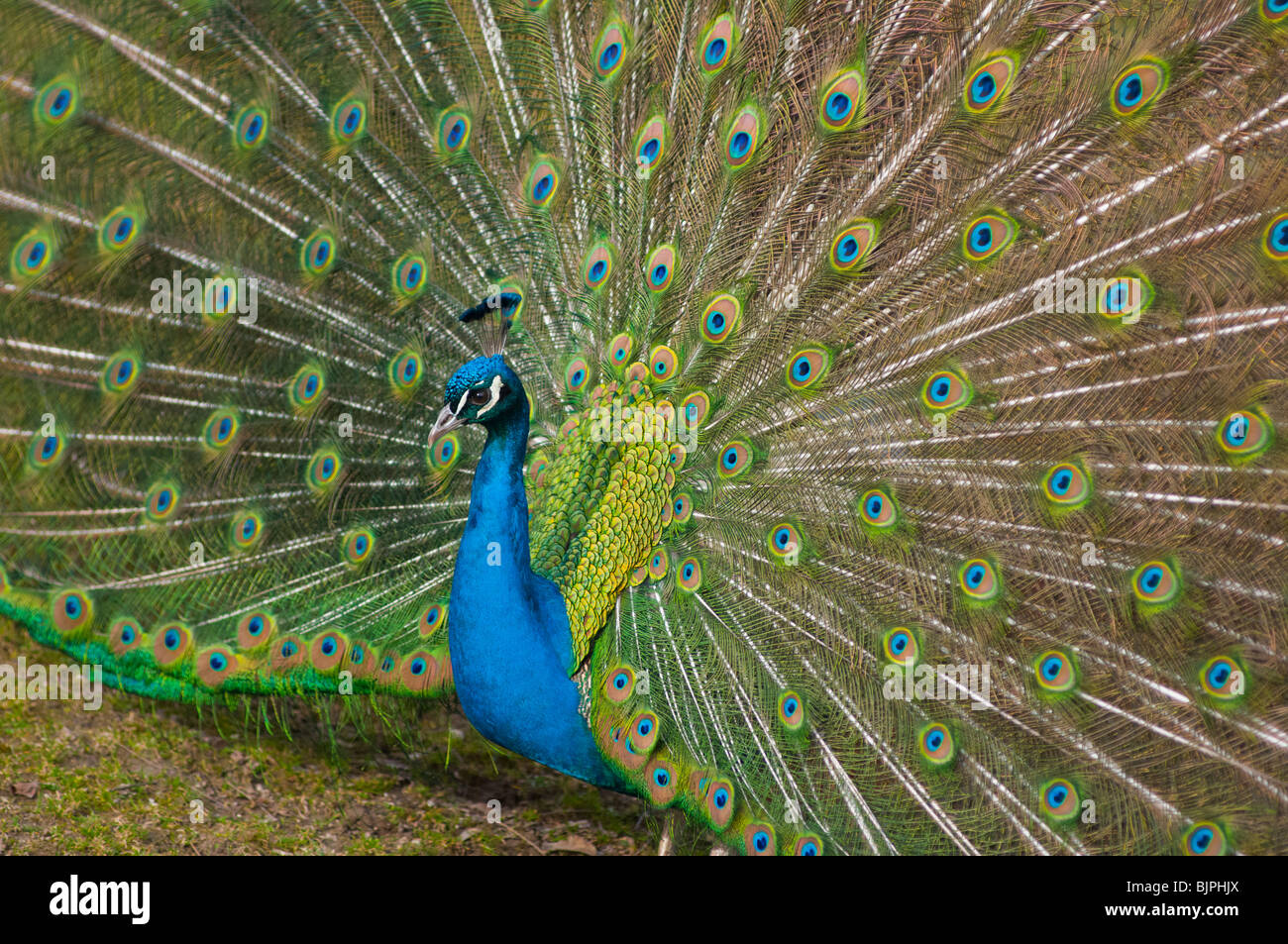 Indian Peacock with tail feathers up. Stock Photo