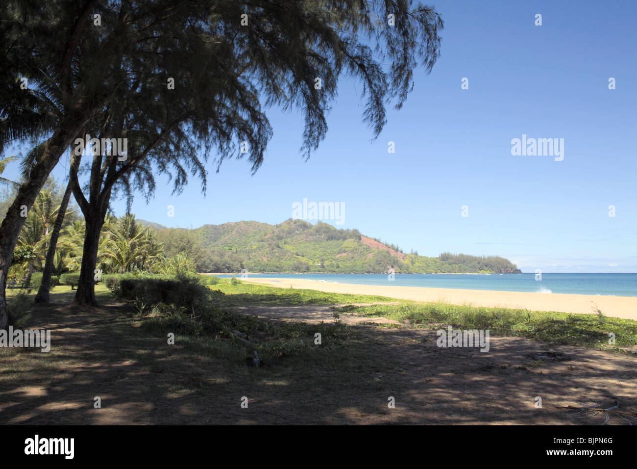 Casuarina trees on Pinetrees Beach Hanalei Bay Kauai Hawaii - Stock Image