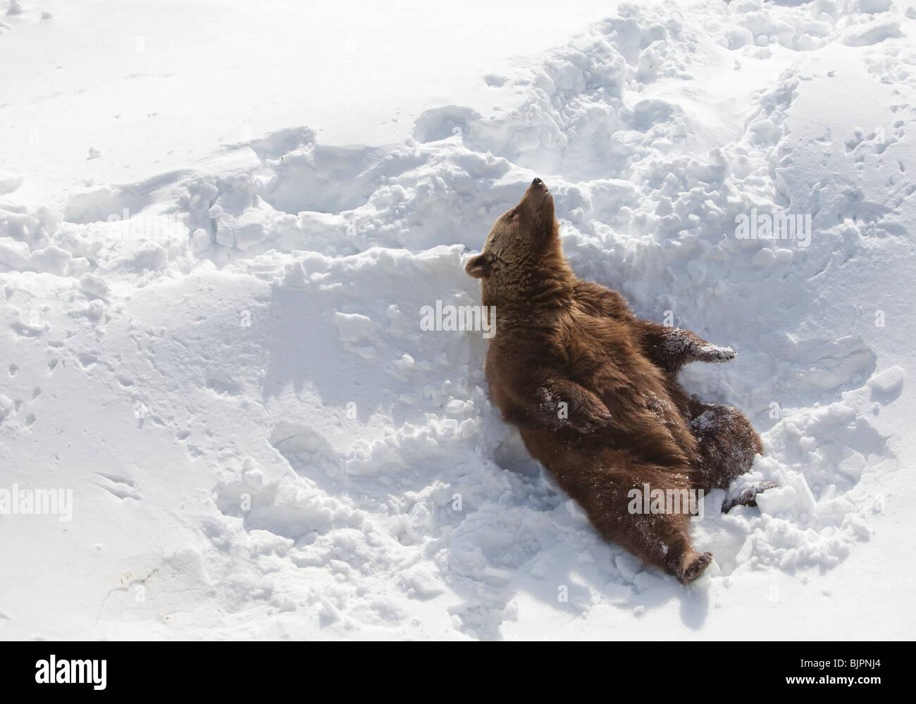European ( Eurasian ) brown bear ( Ursus Arctos Arctos  ) enjoying Spring sun after hibernating the Wintertime - Stock Image