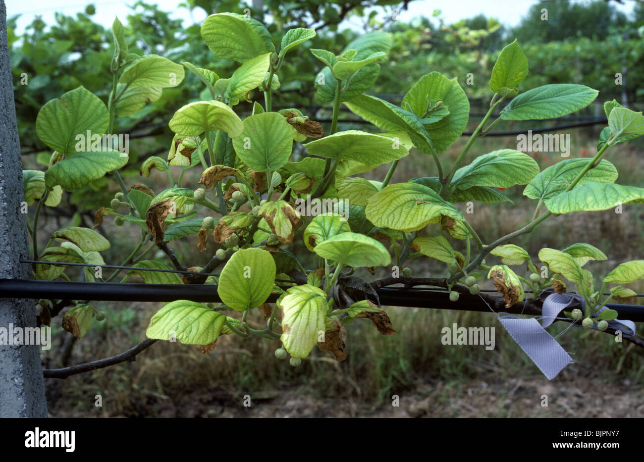 Kiwi vine yellowed and chlorotic by iron deficiency, Thessaloniki, Greece - Stock Image