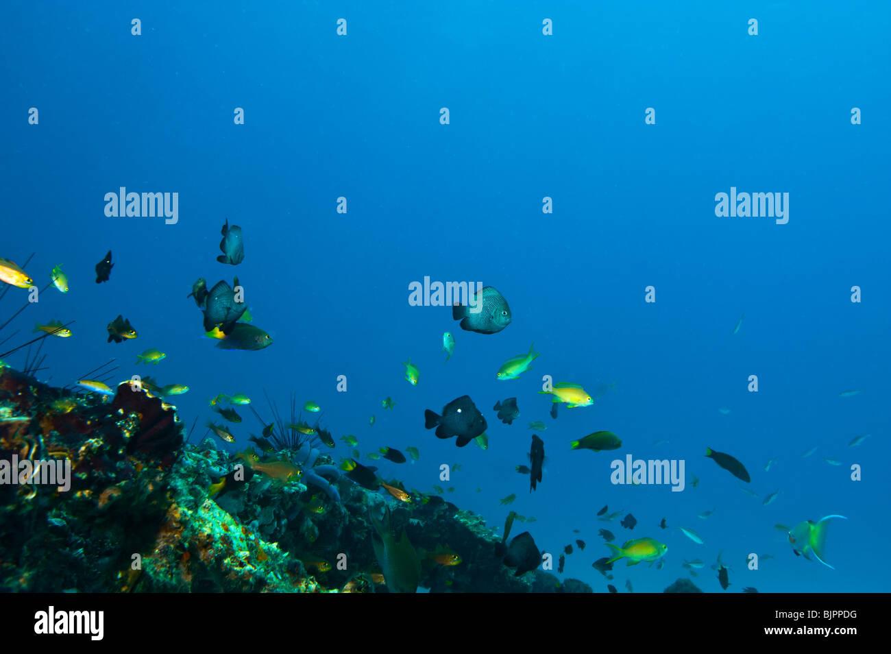 reef Malapascua manifold versatile multiplex life on reef fish starfish sea urchin under water  Cebu Philippines - Stock Image