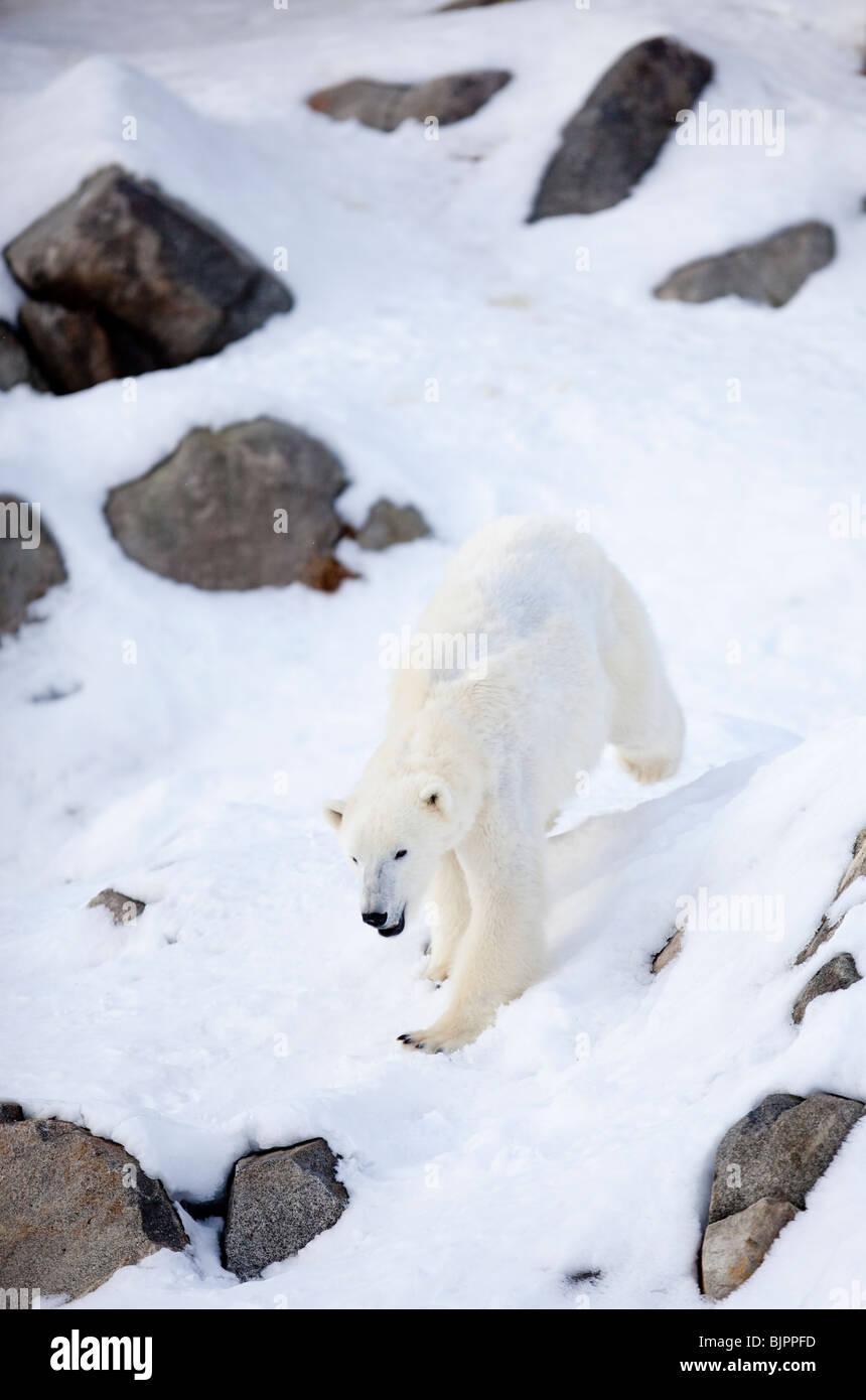 Polar bear ( Ursus maritimus ) running on snow - Stock Image