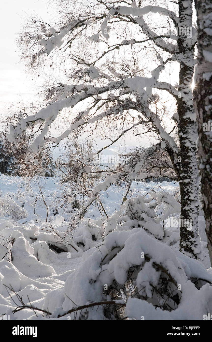 Snow covered birch tree in a scottish winter landscape - Stock Image