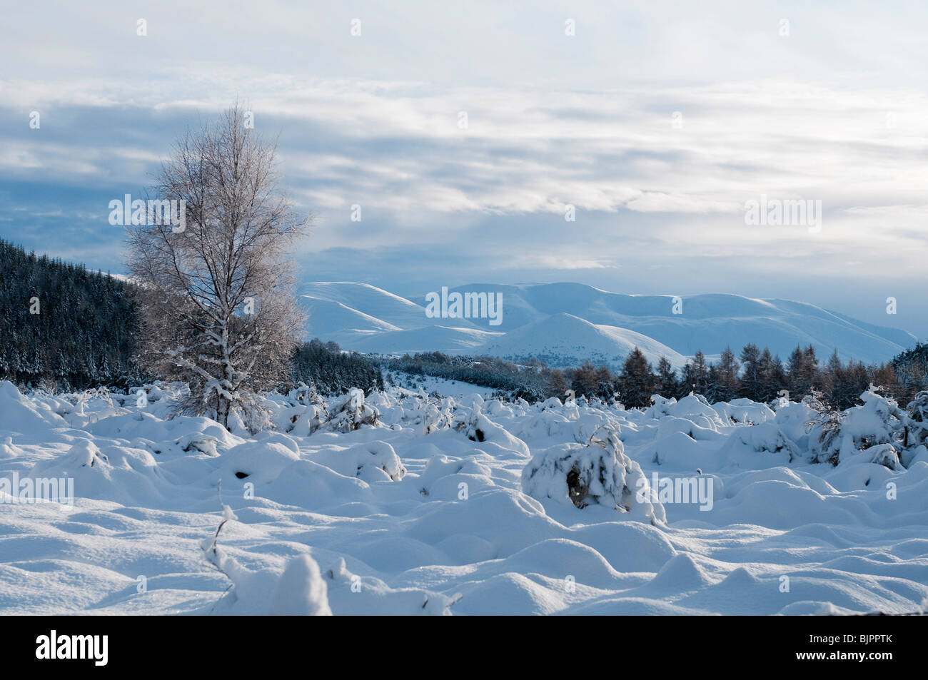 View of the snow covered Cairngorm mountains with a birch tree in the foreground, Scotland - Stock Image