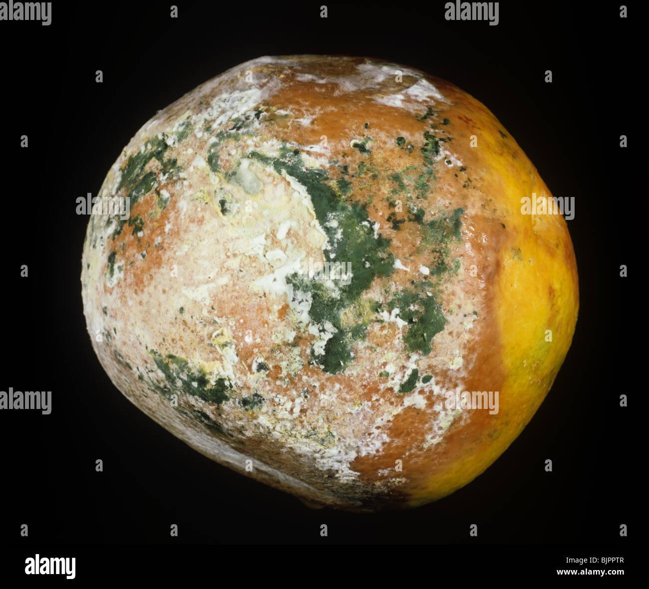 Brown rot (Trichoderma sp.) green storage mould orange fruit - Stock Image