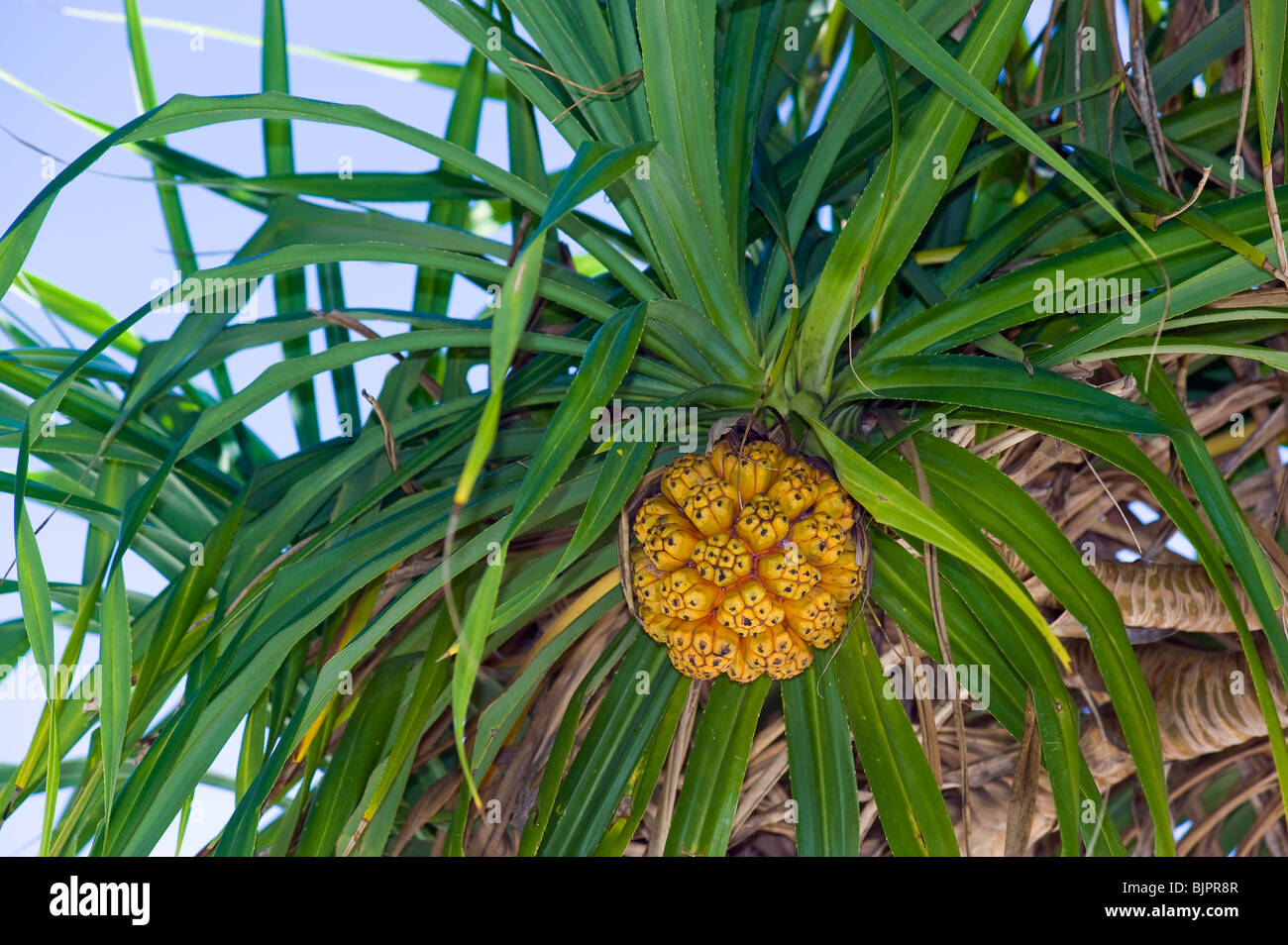 Screwpine Pandanus Utilis Pandanuss Tree Leaves Leaf Yellow Orange Stock Photo Alamy Free autumn leaves coloring page printable. https www alamy com stock photo screwpine pandanus utilis pandanuss tree leaves leaf yellow orange 28775399 html