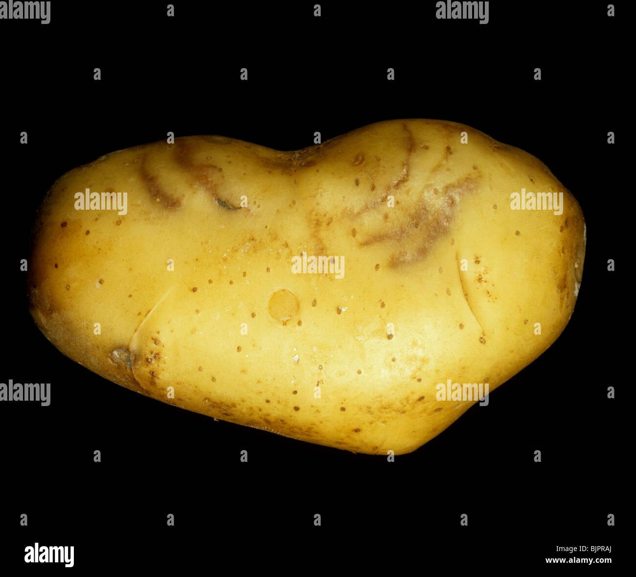 Potato tuber showing external symptoms of spraing caused by potato rattle virus (PRV) - Stock Image