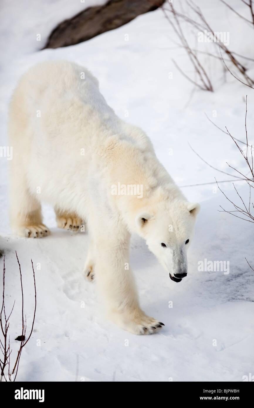 Polar bear ( Ursus maritimus ) walking on snow - Stock Image