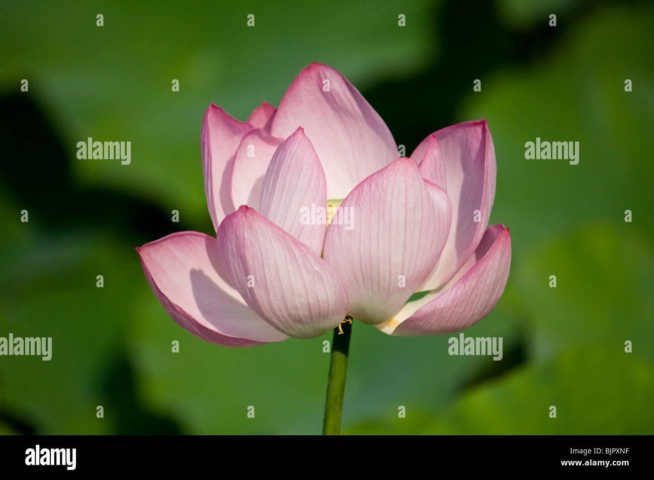 Green Lotus Flower Stock Photos Green Lotus Flower Stock Images