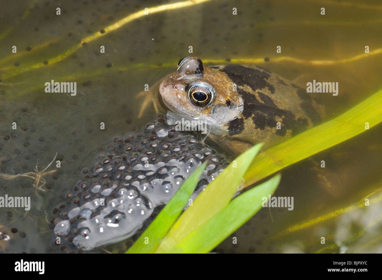 Common frog in pond - Stock Image