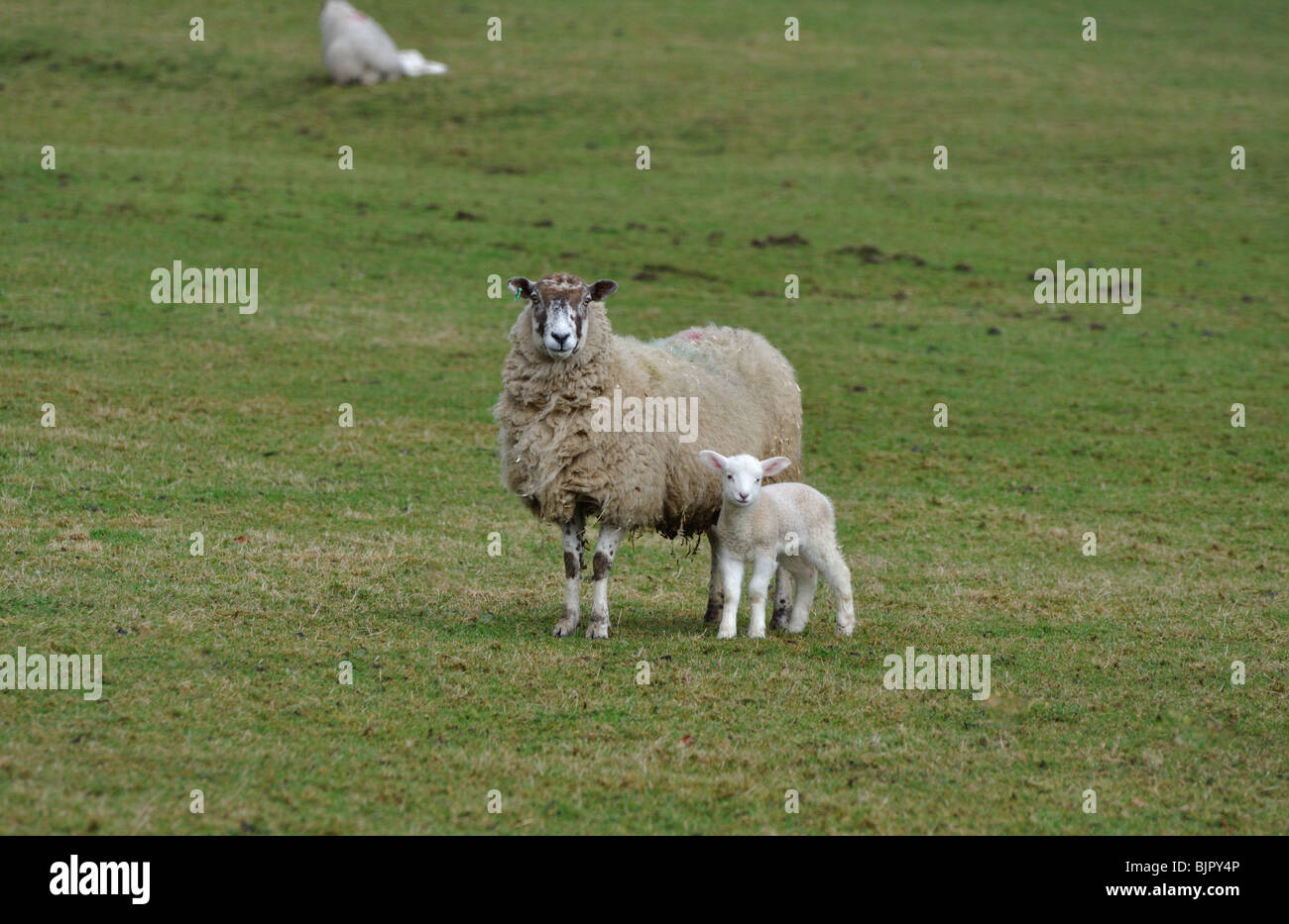 Ewe with spring lamb in the Forest of Bowland - Stock Image