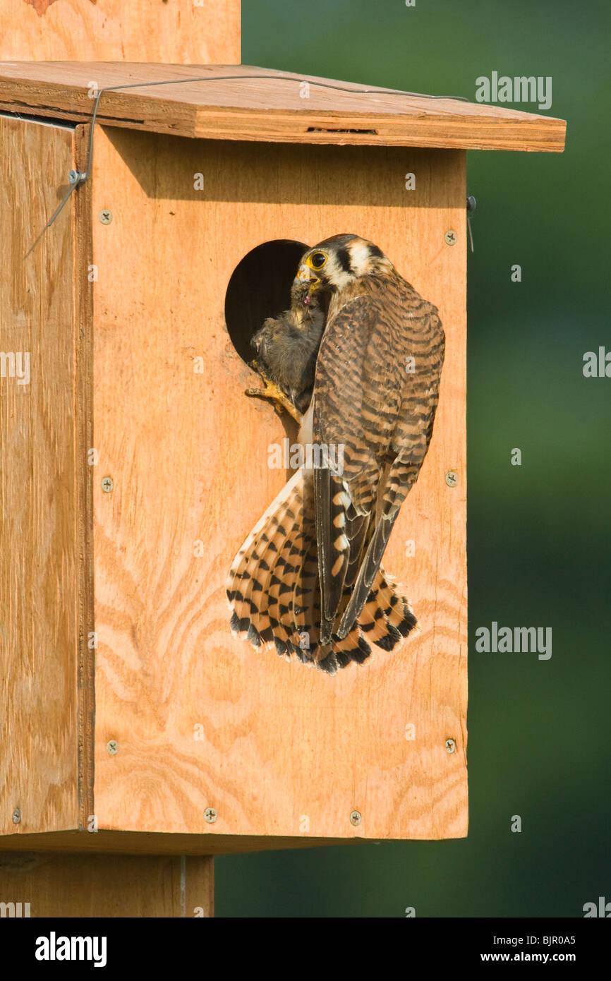 American Kestrel brings food to nest box - Vertical - Stock Image