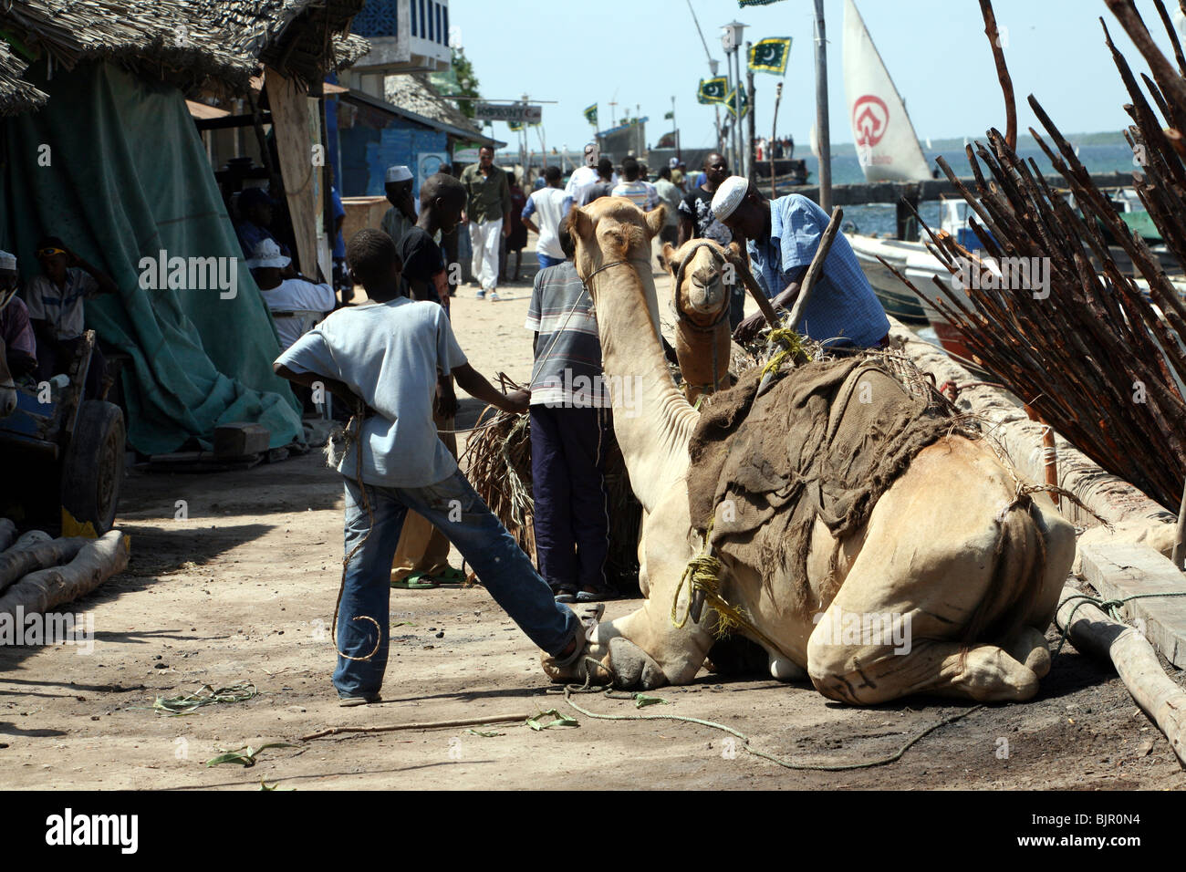 Camels resting in a narrow street In Lamu Stock Photo
