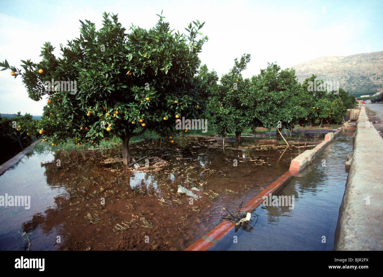 Flood irrigation of an clementine orchard from overflowing water canals, Valencia - Stock Image
