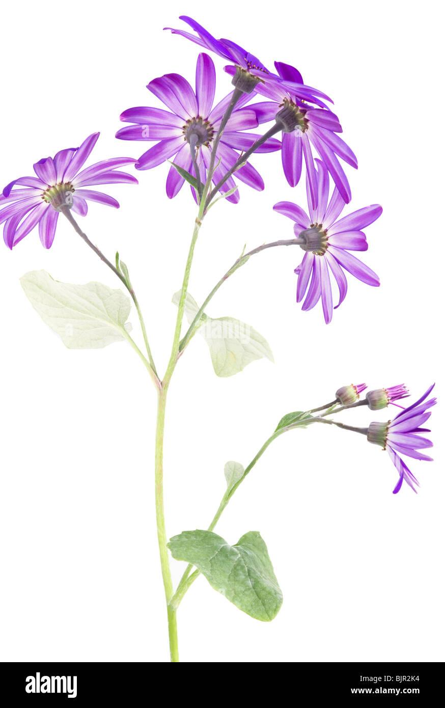 The Underside of a Deep Blue Senetti Flower (var.sunsenedibu pericallis hybrids) Against a White Background - Stock Image