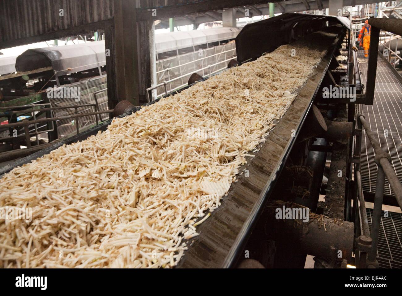conveyor belt carrying sliced sugar beet - Stock Image
