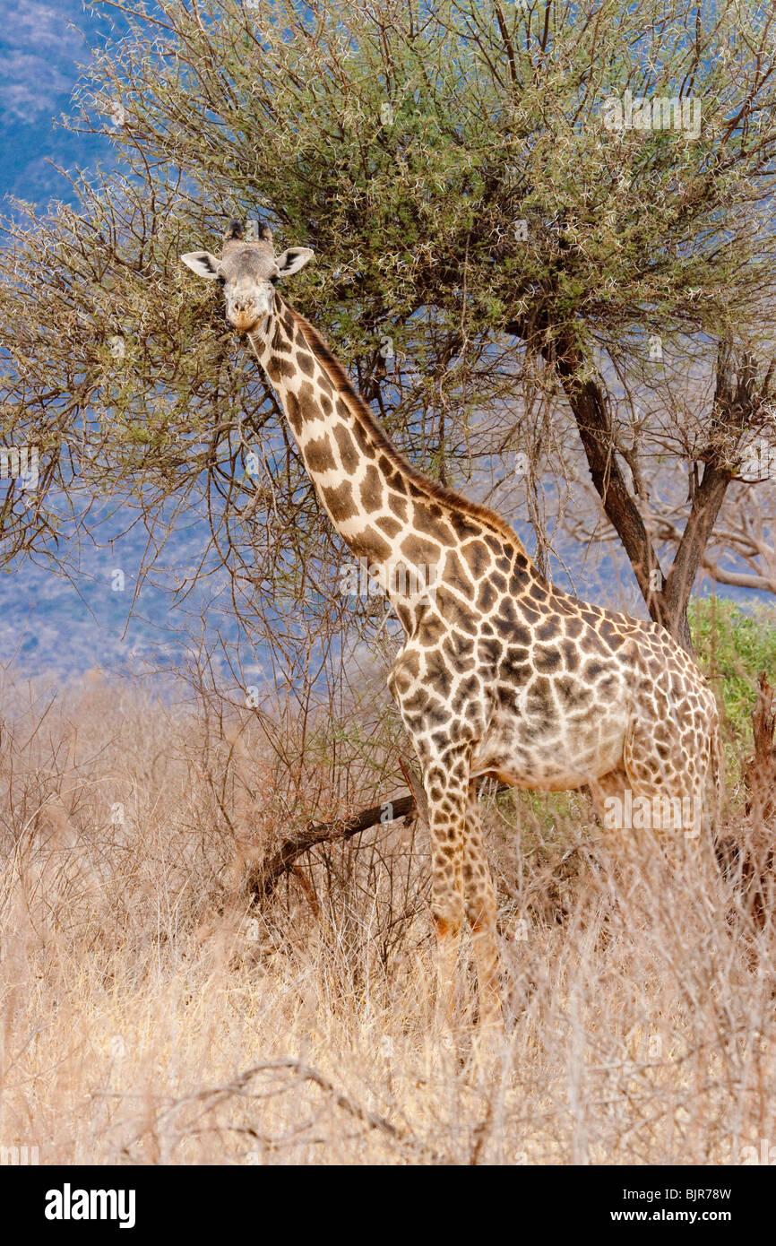 Maasai giraffe (Giraffa camelopardalis). - Stock Image