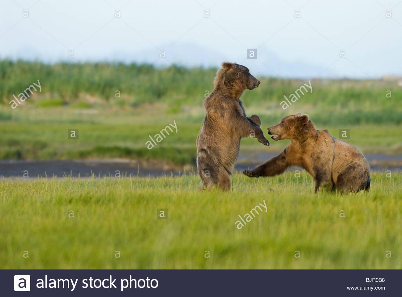Alaskan Brown Bears sparring,play fighting, Ursus middendorffi, Katmai National Park, Alaska - Stock Image