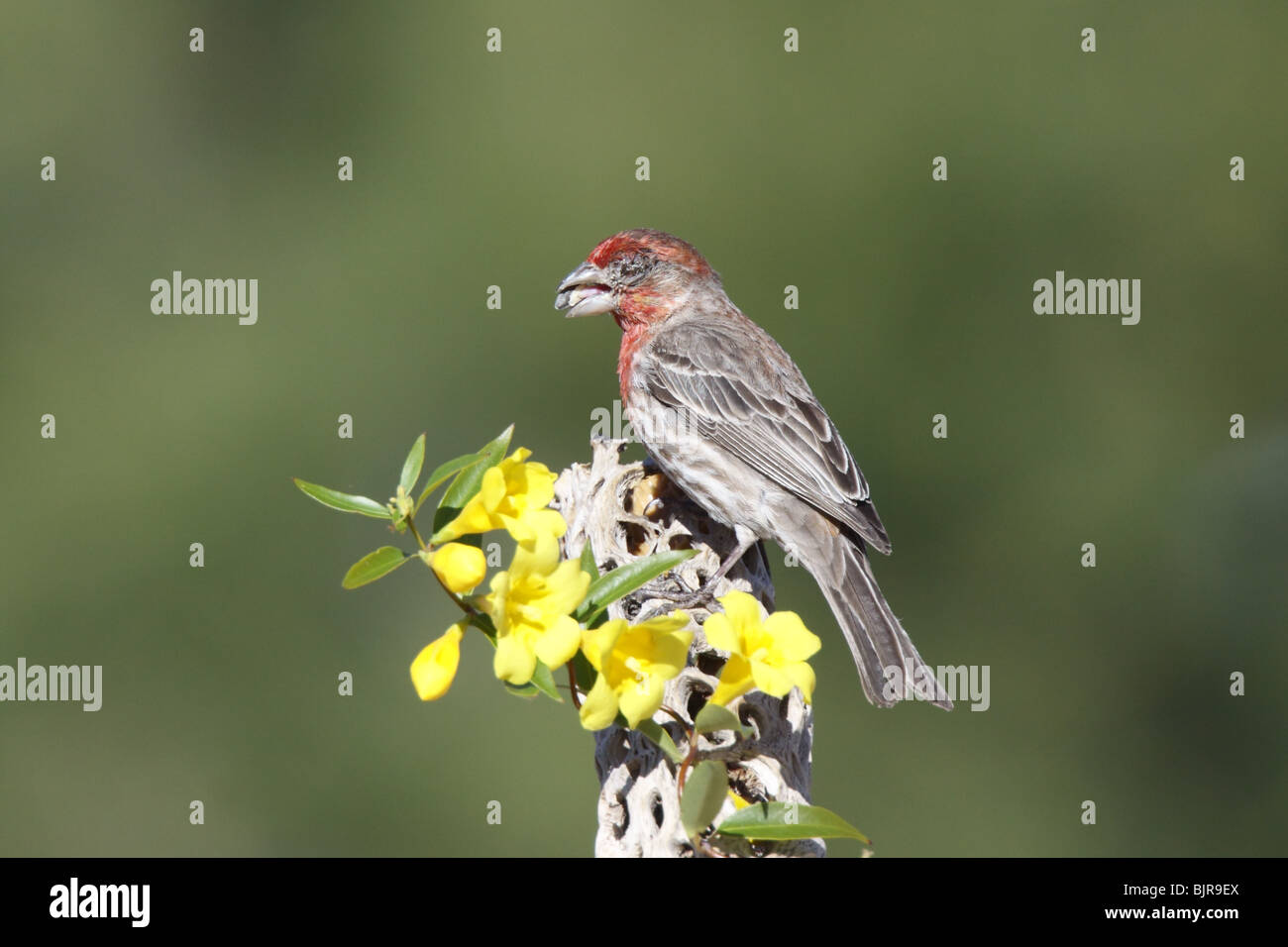 House Finch Adult Male that has lost an eye to Mycoplasmal conjunctivitis. - Stock Image