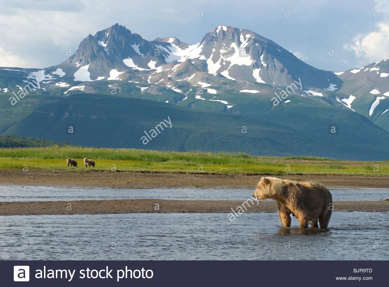 Alaskan Brown Bear sow and cubs, Ursus middendorffi, fishing for salmon along river, Katmai National Park, Alaska - Stock Image