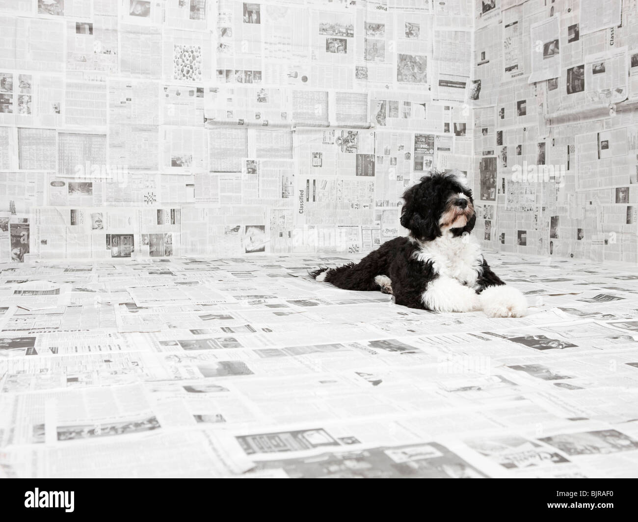 Portuguese Water Dog in room covered in newspaper - Stock Image