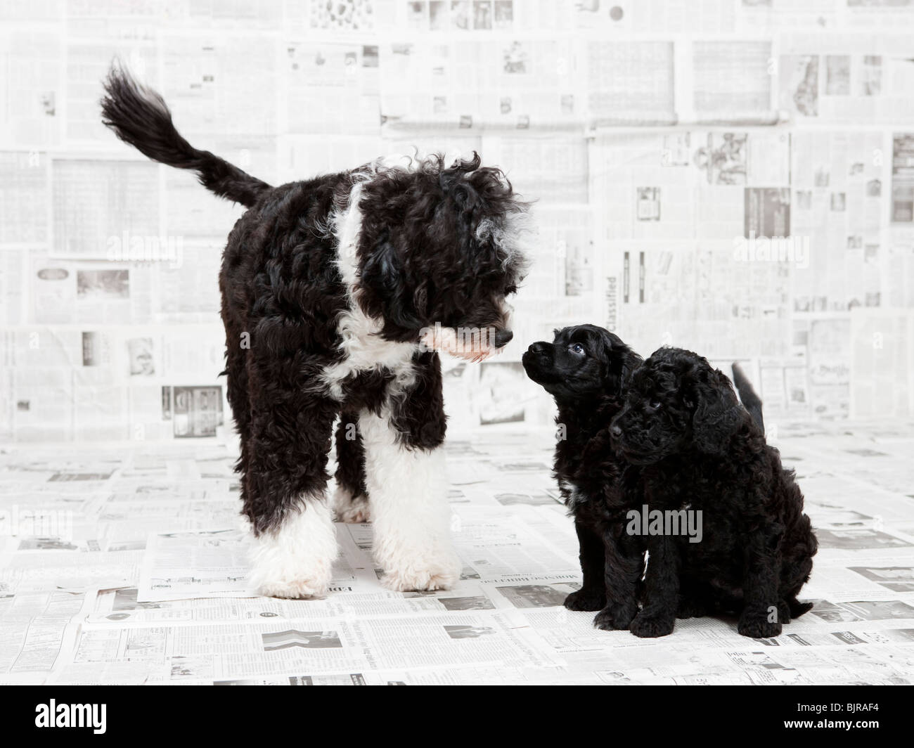 Portuguese Water Dog with two puppies in newspaper room - Stock Image