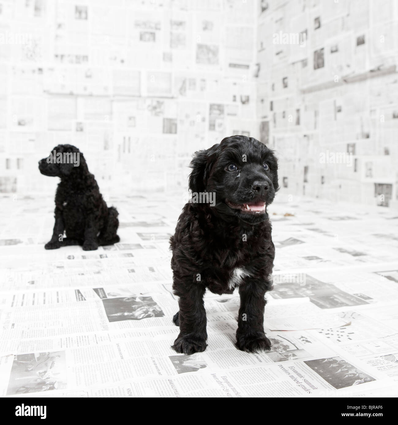 Two Portuguese Water Dog puppies in a room covered in newspaper - Stock Image