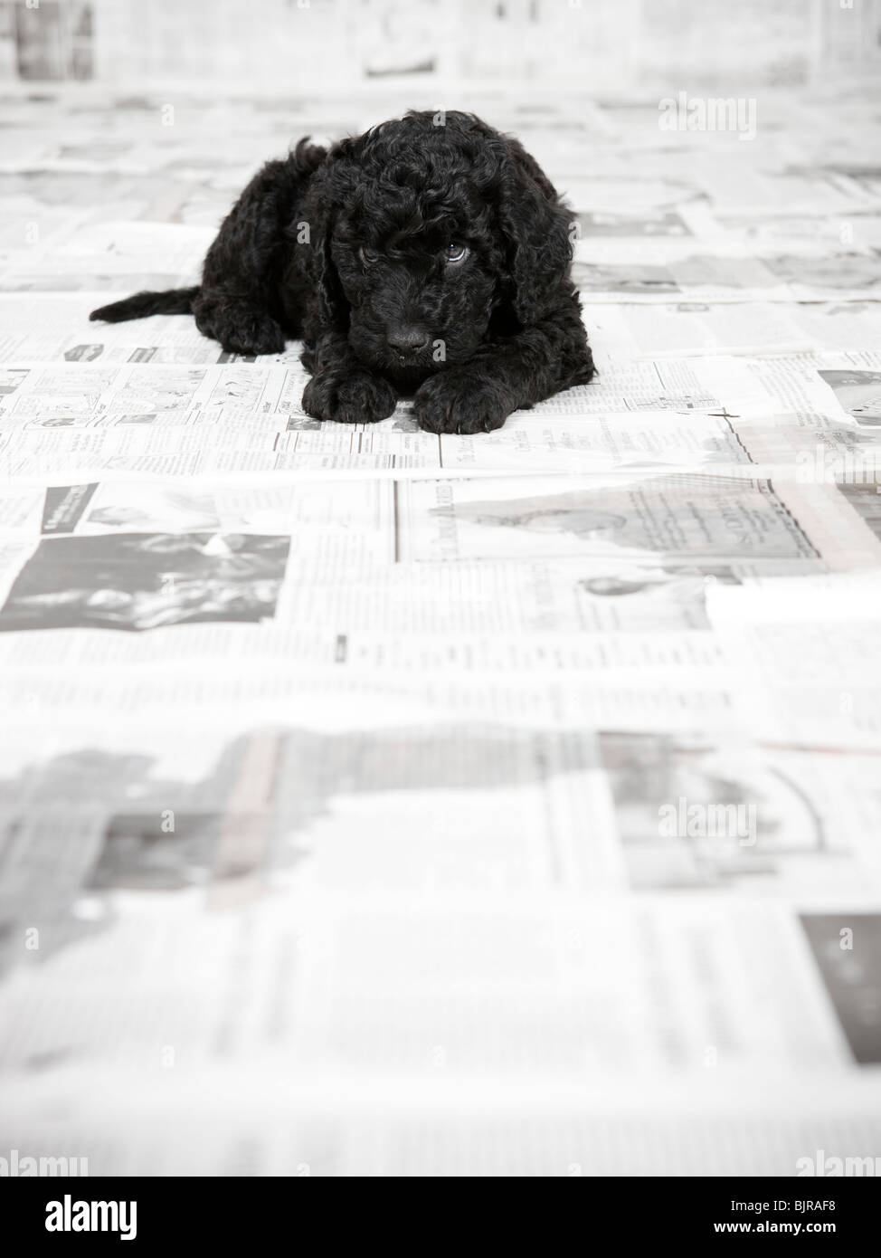 Portuguese Water Dog puppy lying in a room covered in newspaper - Stock Image