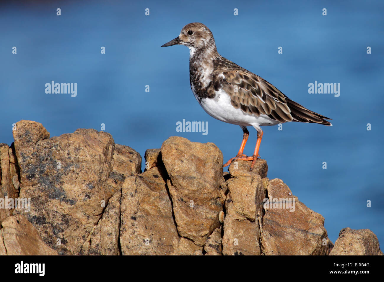 A Turnstone (Arenaria interpres) perched on a rock, South Africa - Stock Image