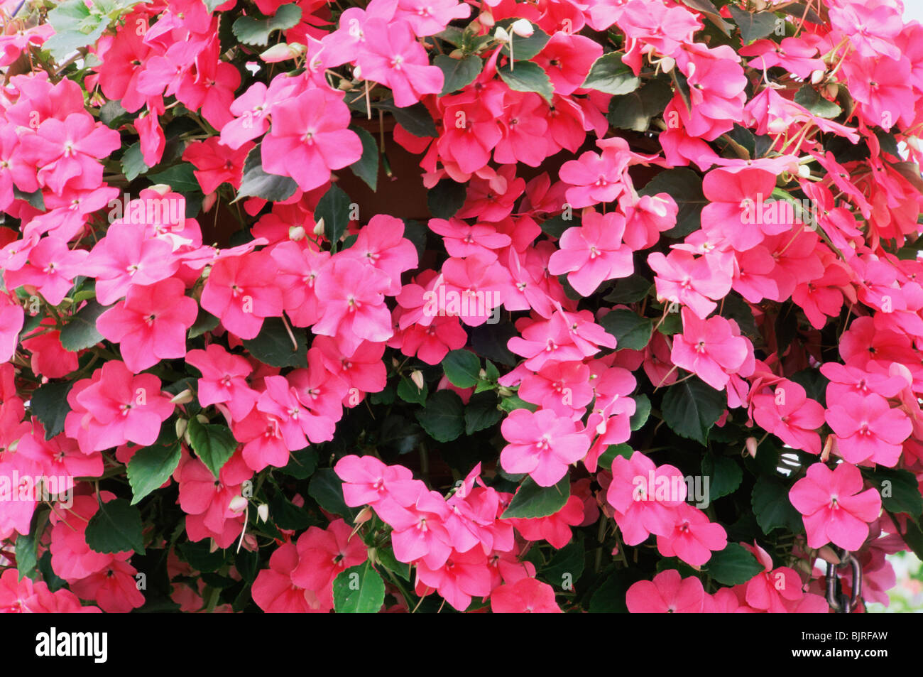 Impatiens Stock Photos Impatiens Stock Images Alamy