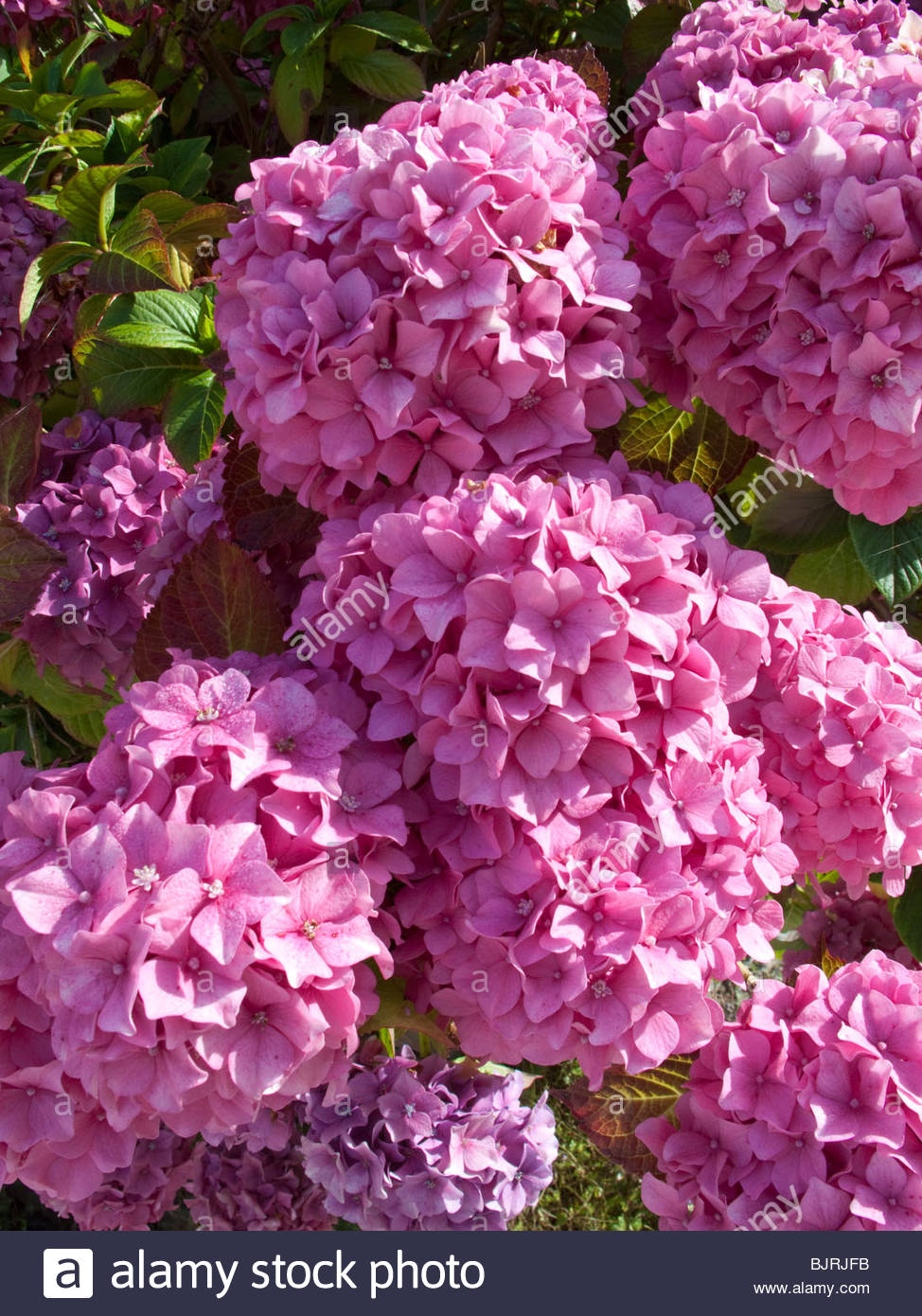 Big pink hydrangea flowers stock photo 28793615 alamy big pink hydrangea flowers mightylinksfo