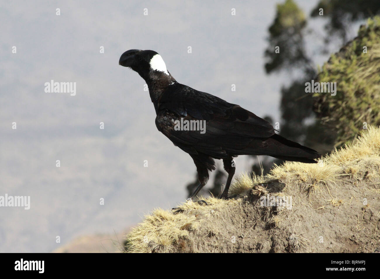 Africa, Ethiopia, Simien Mountains Thick-billed raven (Corvus crassirostris) - Stock Image