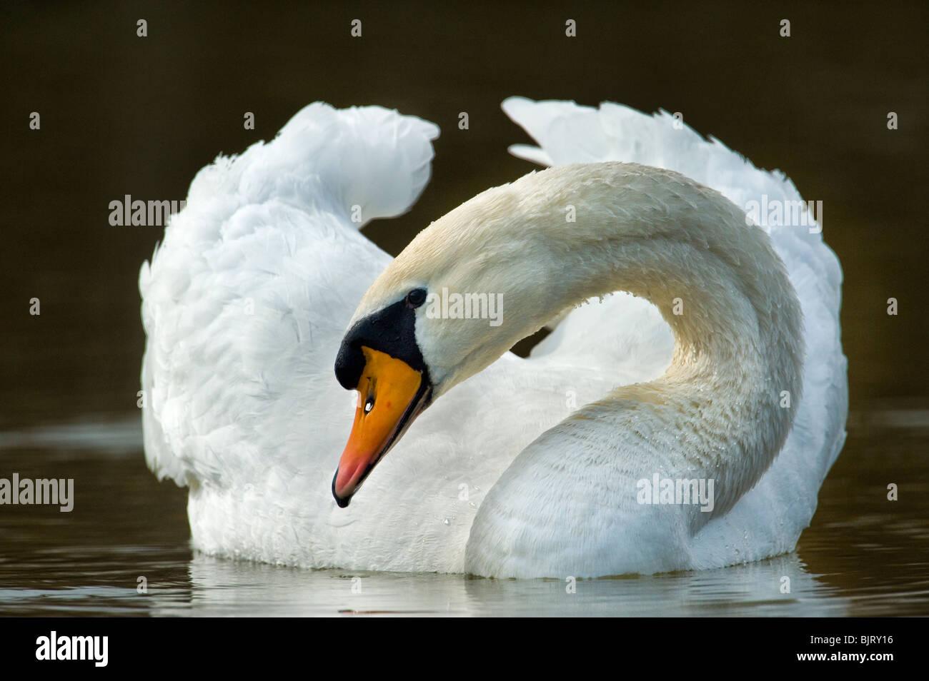 wild swan portrait with a 600 mm tele telelense lense white animal bird water  gliding glide swimm swimming grandious - Stock Image